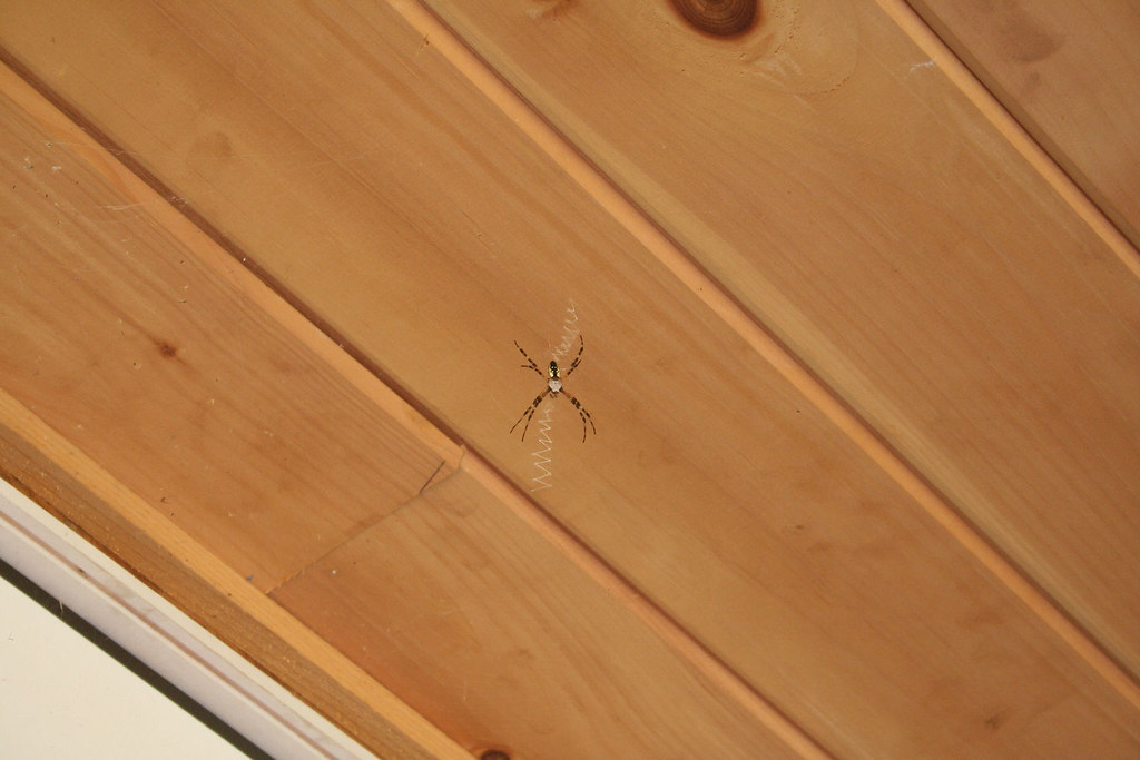 Orb Weaver at home on the porch ceiling