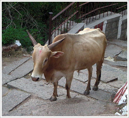 Stair Cow