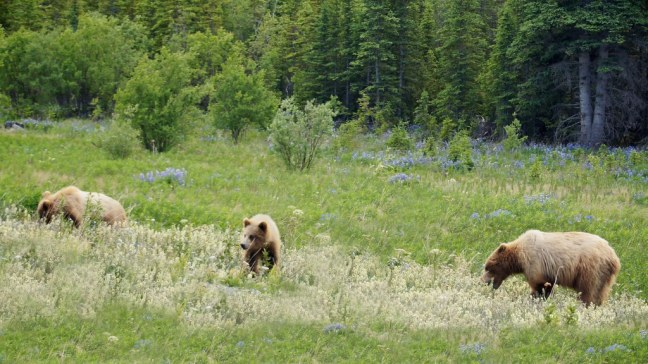 Grizzlies along Haines Highway