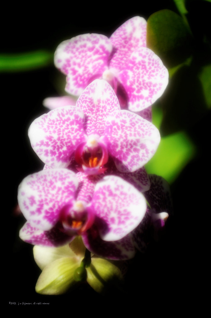Pink Spotted Orchid