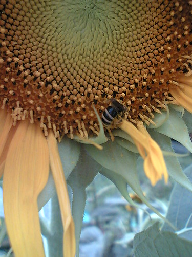 bee visits sunflower