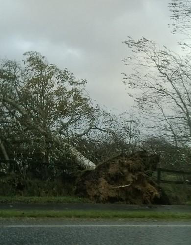 Stormfældet træ