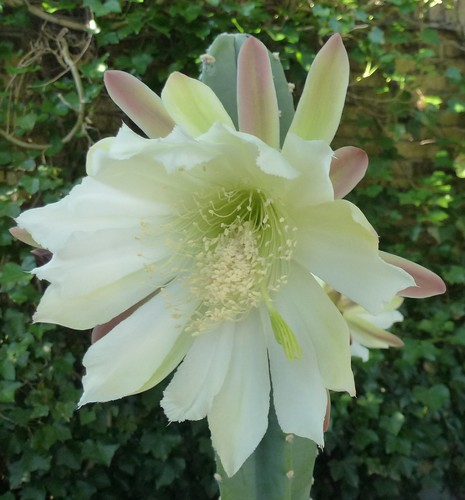 Søjlekakus i blomst