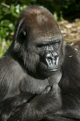 Female Low land Gorilla at Melbourne Zoo