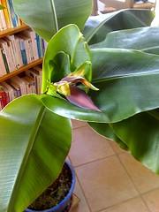 bananier en fleur2