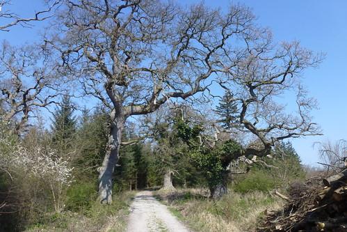 Gamle egetræer i Dyrehaven i Vemmetofte