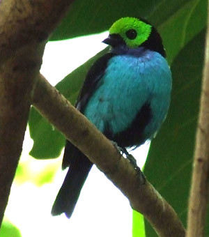 some kind of tanager (?)