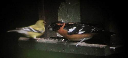 Grosbeak & Finch