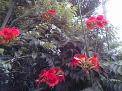 trumpetflowers