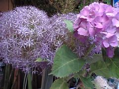 Allium&ajisai