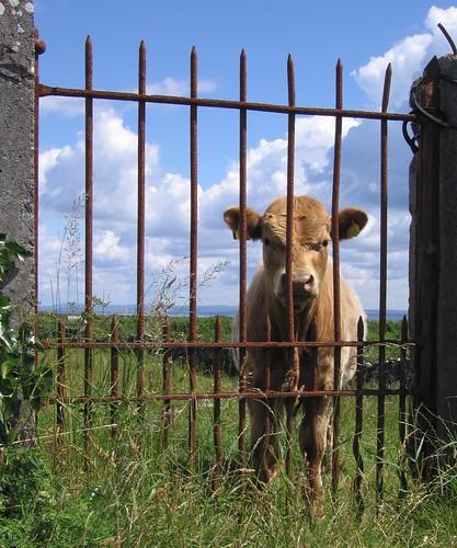 Cow & Gate on Aran Islands