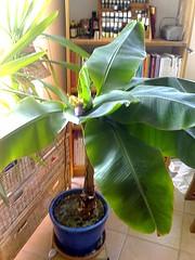 bananier en fleur1