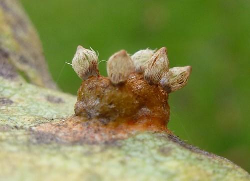 Pæregitterrust (Gymnosporangium sabinae)