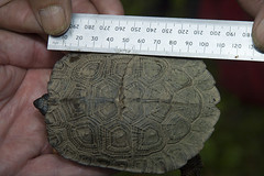 Wood Turtle Measurements
