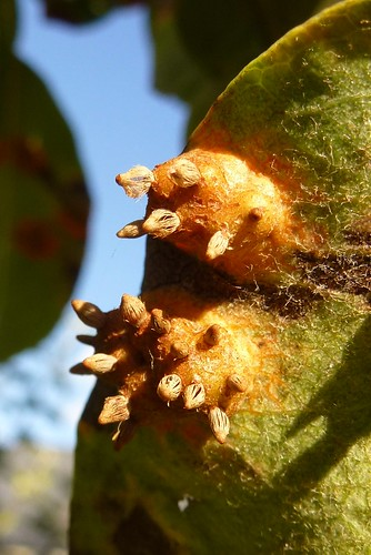 Gitterrust (Gymnosporangium sabinae)