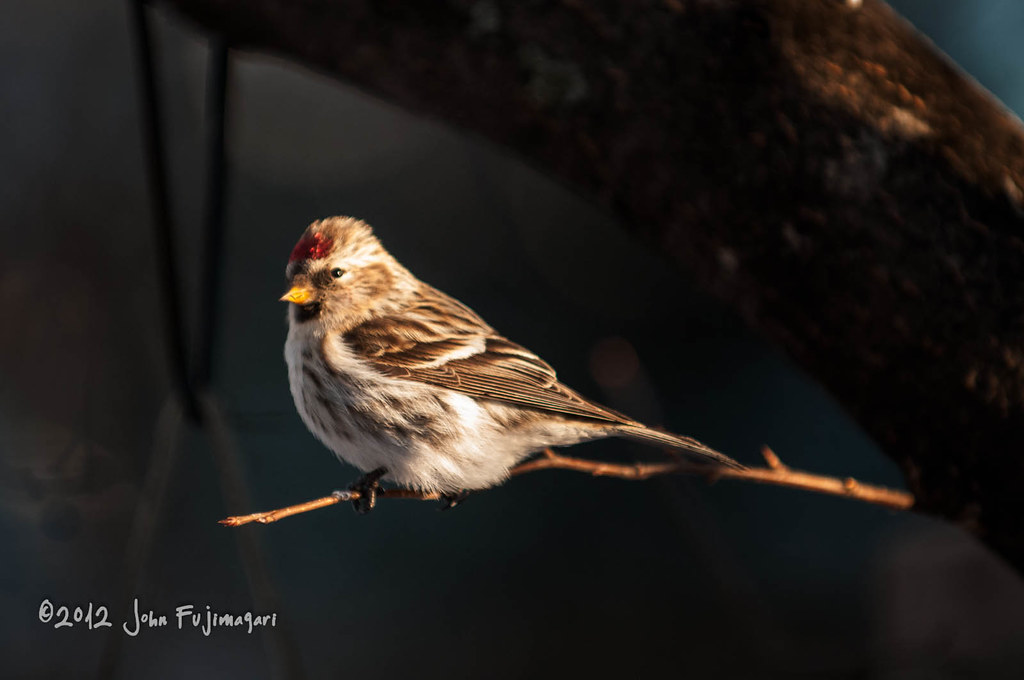 Red Poll Light
