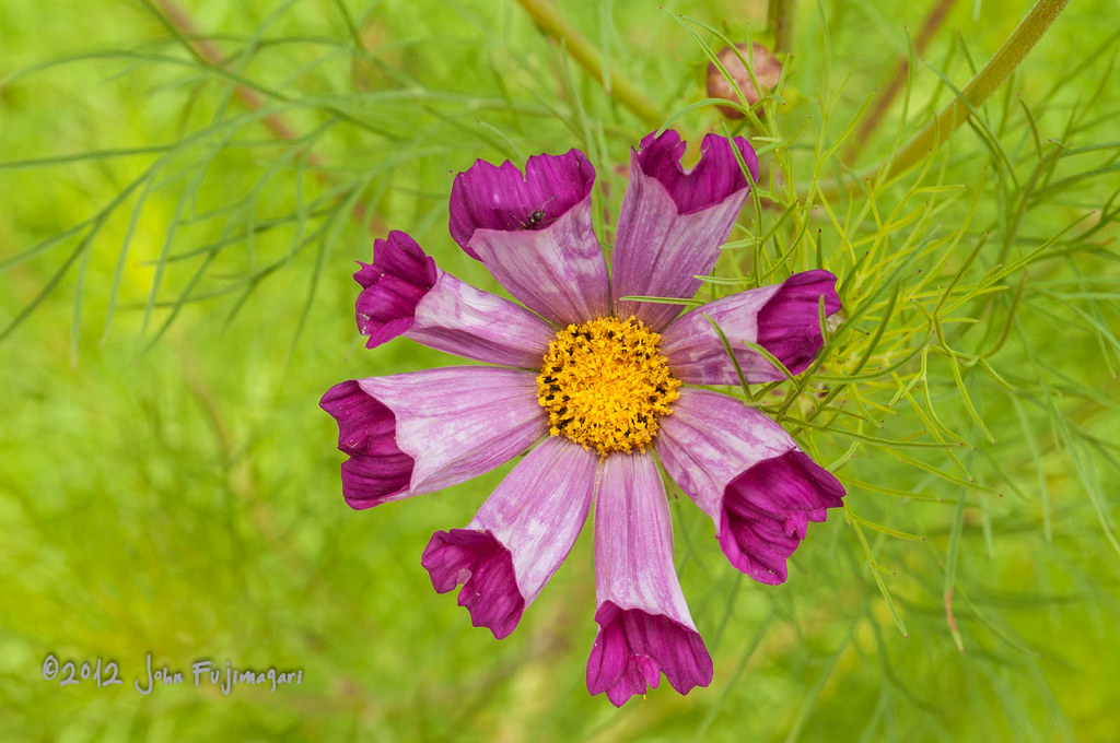 Hybrid Cosmos Daisy