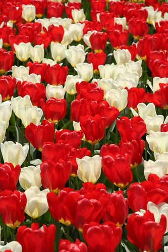 Caos en tulipanes rojos y blancos