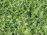 durban_grass