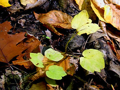 rue anemone leaves