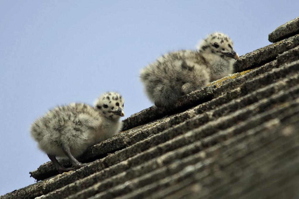 Climbing Gull Chicks