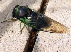 annual cicada on sidewalk crack