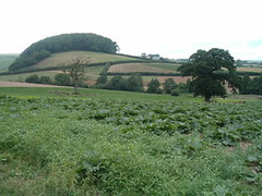 a field of rhubarb