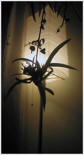 icarus plant