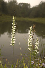 Ladies Tresses and the pond