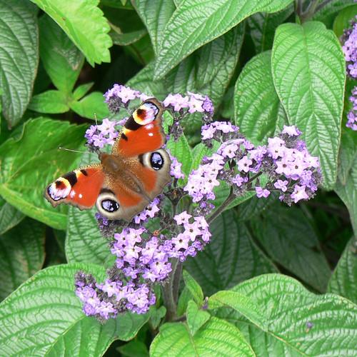 Castle Howard butterfly