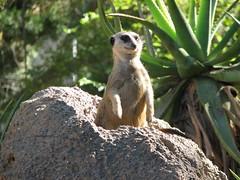 meerkat throne