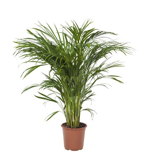 Plante d'intérieur de Botanicly – Palmiste multipliant – Hauteur: 100 cm – Areca dypsis lutescens 0