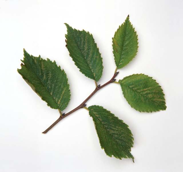 Slipper elm leaves have a somewhat rough texture that help achieve that clean feeling.