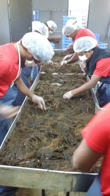 Workers at South Pacific Mozuku cleaning seaweed in Nuku'alofa, Tonga. Photo credit: South Pacific Mozuku