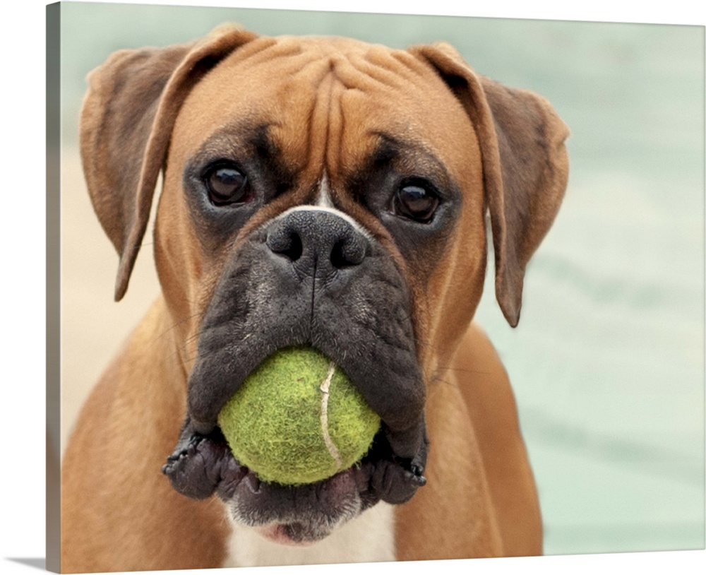 Boxer Dog With A Tennis Ball In Its Mouth Wall Art Canvas Prints Framed Prints Wall Peels