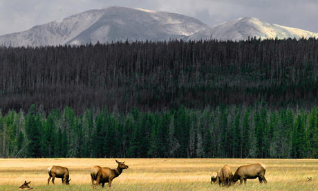 Elk grazing in Yellowstone Park, Wyoming