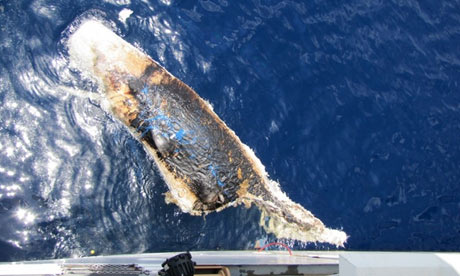 A dead sperm whale in the Gulf of Mexico seven weeks after BP Deepwater Horizon oil spill