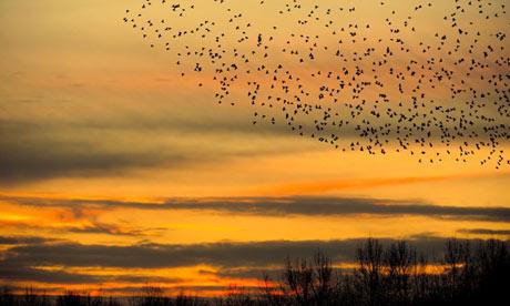 Green Shoots : Flock of birds