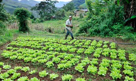 MDG : Hunger Summit : Brazil : A Brazilian worker collects lettuce from his field