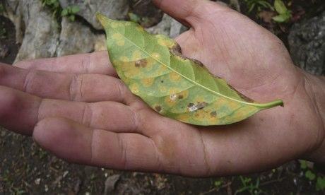 MDG : Mark Tran in Guatemala : Coffee tree affected by disease in Raxnam village