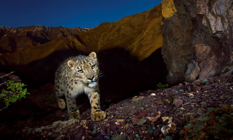 endangered snow leopard in Hemis National Park, Jammu and Kashmir province, India