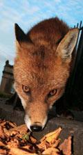 An urban fox in Bristol city centre