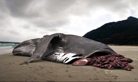George Mombiot blog on sharks : Whale carcasss on beach