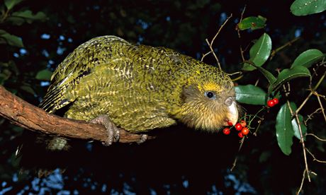 100 most endangerd birds : Kakapo