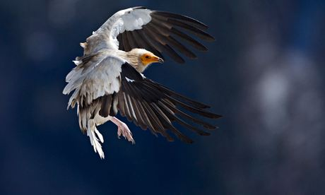 100 most endangered birds : Egyptian Vulture