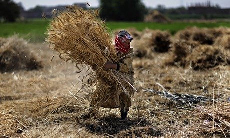 Food crisis and population  : farmer carries wheat crop bundles in Egypt