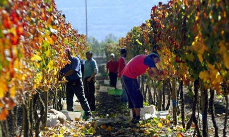 Farmers pick grapes in Santiago