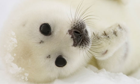 A pup harp seal off the coast of the Magdalen Islands, Quebec, Canada