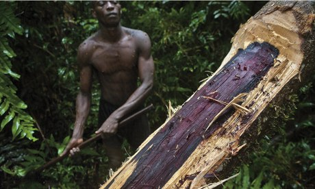 An illegal logger fells a 300-400-year-old rosewood trees in Madagascar's Masoala national park,.