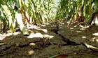 Corn-damaged field in Iowa